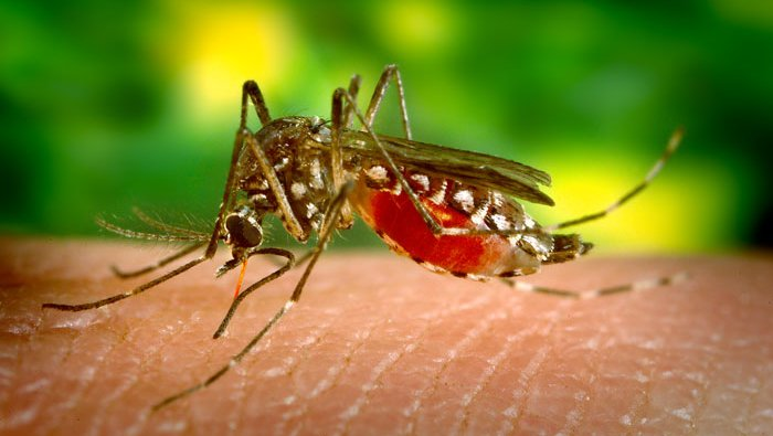 The yellow fever mosquito Aedes aegypti, taking a bloodmeal.