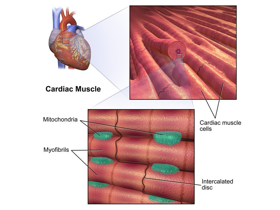 Cardiac Cell Therapy For Heart Failure Caused By Muscular Dystrophy ...