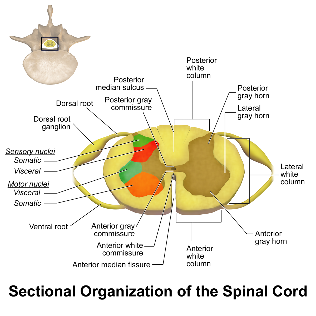 Using Donor Stem Cells To Treat Spinal Cord Injury