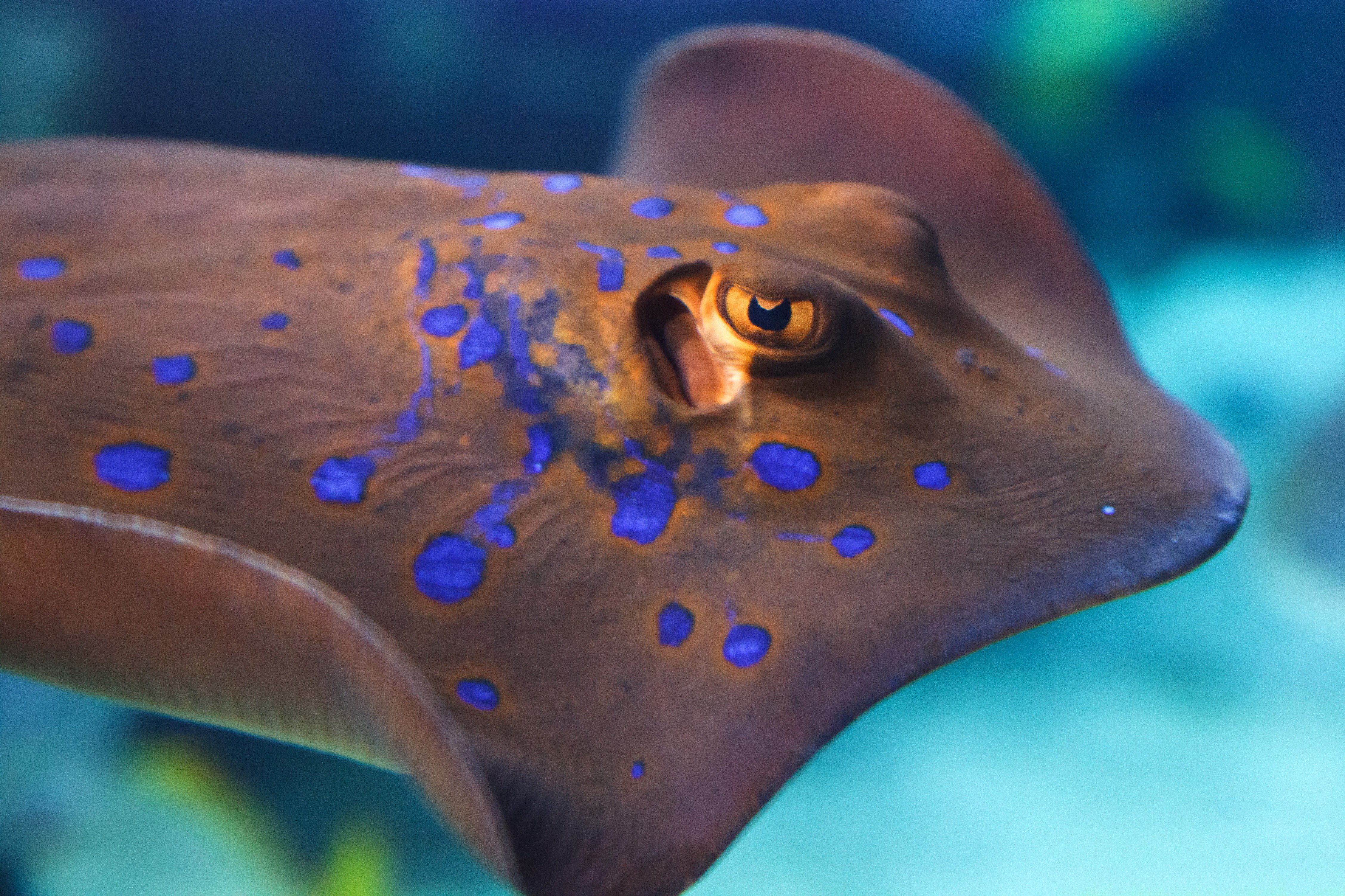 Stingray sting for Is a stingray a fish