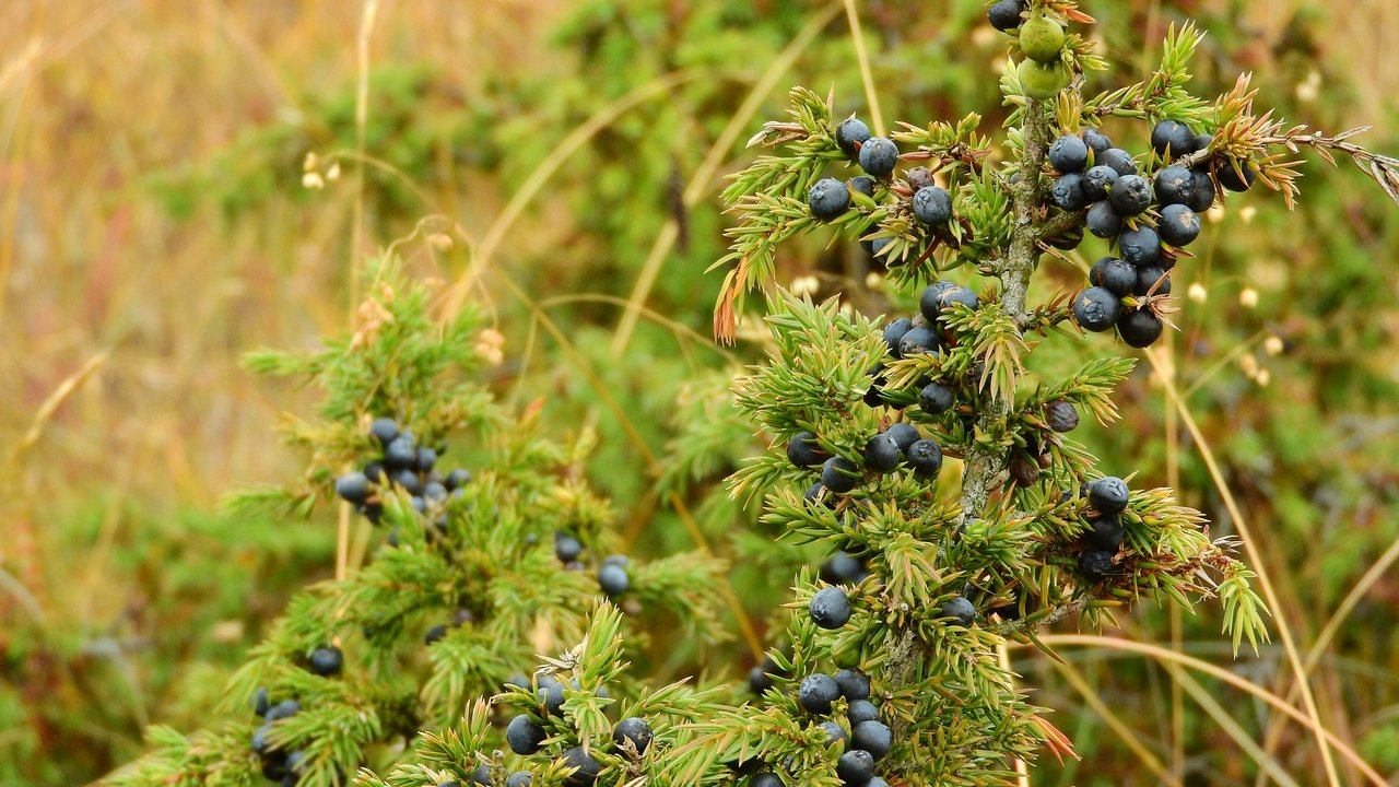 What Are The Health Benefits Of Juniper Berries?