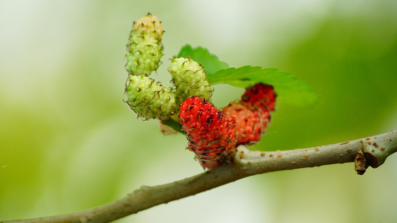 7 Health Benefits Of Mulberries