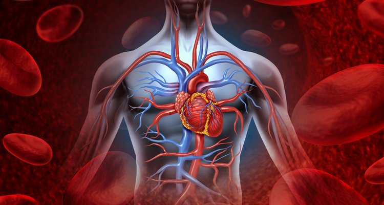 Illustration of a human heart and circulation of blood in cardiovascular system.